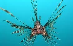 lionfish-water-ocean-fish