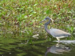 Birds and Wildlife at Circle B Reserve...the Real Florida