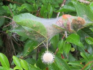 Butterfly Cocoon with Button Bush at Lettuce Lake Destination Tampa Bay