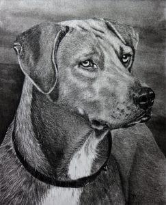 Terri Mills – Rhodesian Ridgeback – charcoal pencil Pinellas Park Art Society